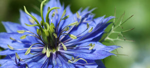 Growing (and Renaming) Love-in-a-Mist
