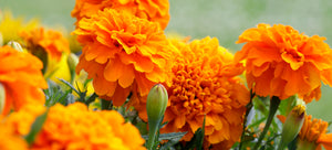 growing marigolds from seed
