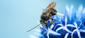 orchard mason bee on blue flower