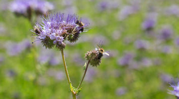 Oh, Phacelia! I'm Down on My Knees, Growing Phacelia from Seed