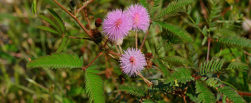 Growing Mimosa pudica