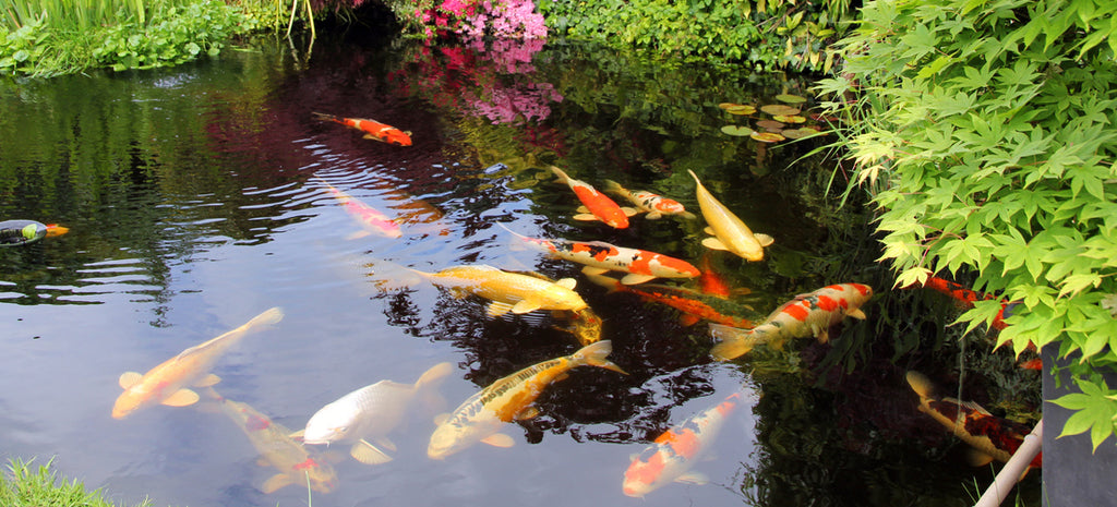 Koi pond and water garden