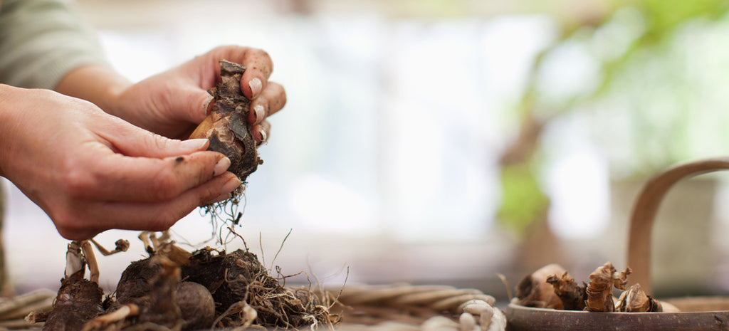 gardener preparing bulbs