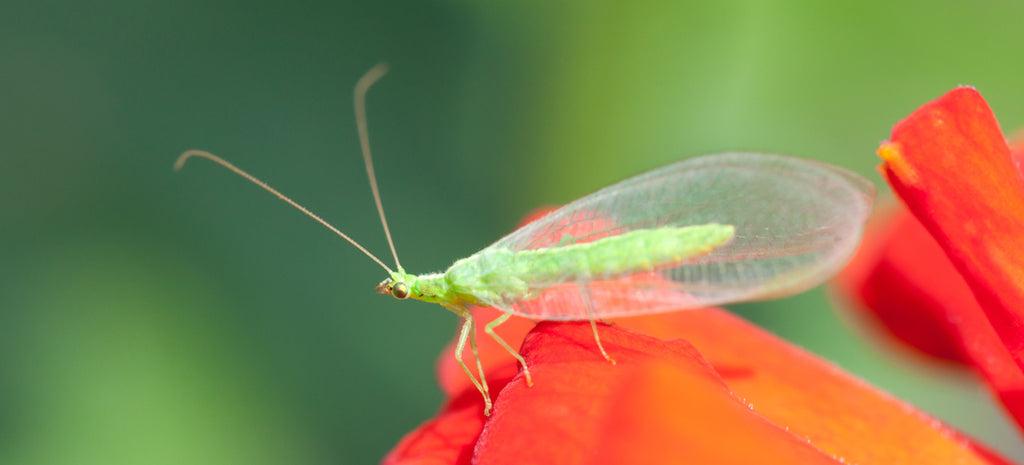 green lacewing on red flower