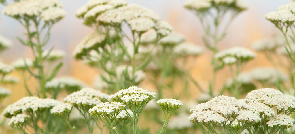 growing yarrow from seed in a meadow