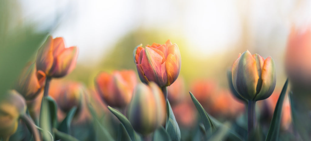orange tulips in bloom