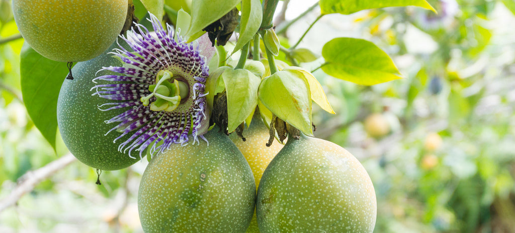 passionflower blossom and fruit