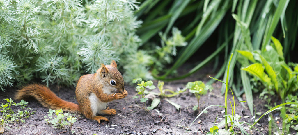 squirrel in flower bed