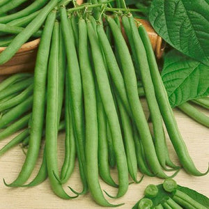 Topcrop Bush Bean Seeds (Phaseolus vulgaris)