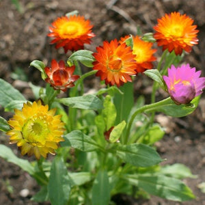 strawflower Mixture