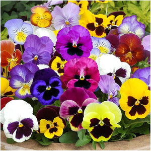 Swiss Giants Pansy Seeds