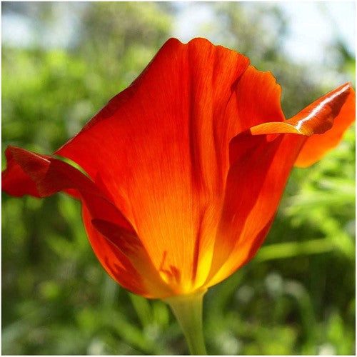 Red Chief California Poppy