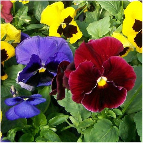 swiss giants pansy