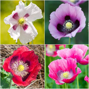somniferum poppy