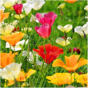 California Poppy Mixture