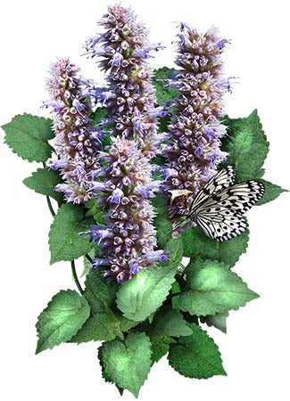 Anise Hyssop Herb Seeds (Agastache foeniculum)