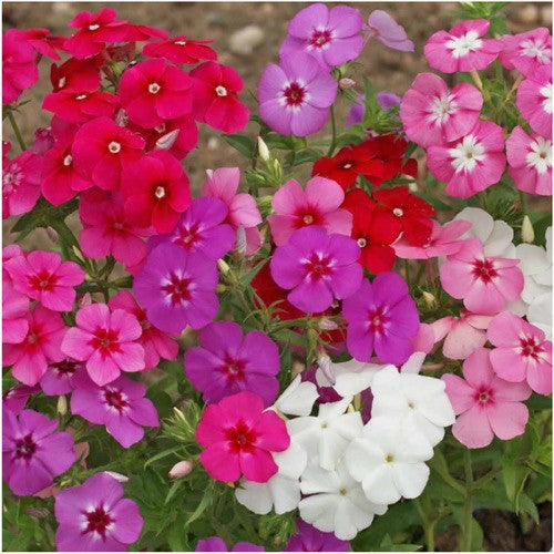 annual phlox mixture
