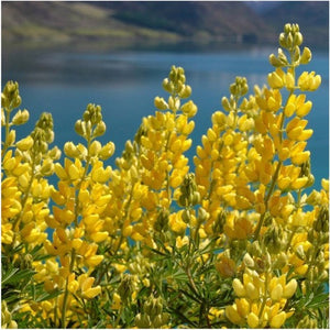 annual yellow lupine