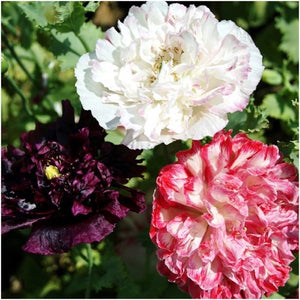 Antique Shades peony poppy