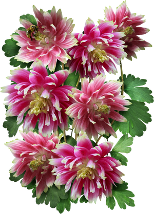 nora columbine seeds for planting
