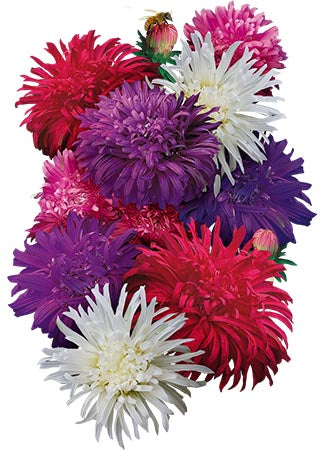 Ostrich Feather China Aster Seeds (Callistephus chinensis)