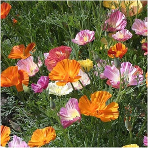 Ballerina California Poppy