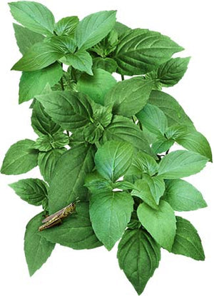 Lemon Basil Seeds (Ocimum basillicum citriodorum)