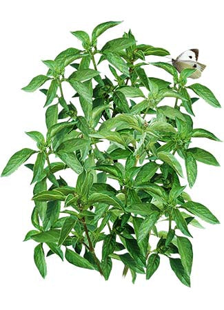 Lime Basil Seeds (Ocimum x citriodorum)