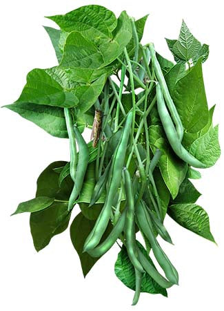 Blue Lake 274 Bush Bean Seeds (Phaseolus vulgaris)