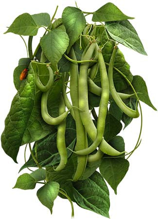 Blue Lake Pole Bean Seeds (Phaseolus vulgaris)