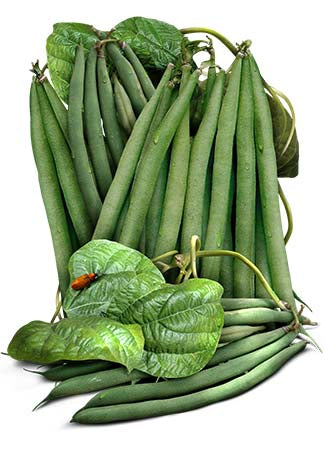 Slenderette Bush Bean Seeds (Phaseolus vulgaris)