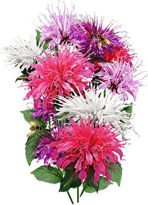 Panorama Mixture Bee Balm (Monarda didyma)
