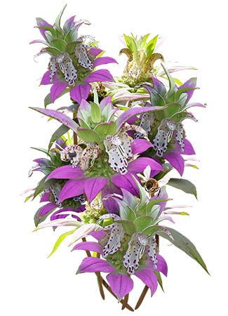 Spotted Bee Balm Seeds, Horsemint (Monarda punctata)