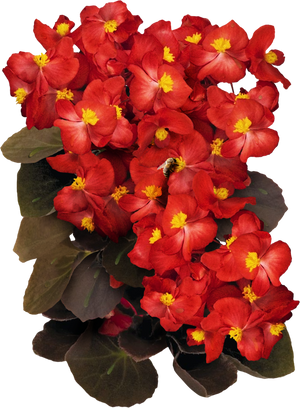 red begonia seeds for planting