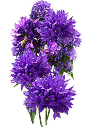 Bellflower Superba Seeds