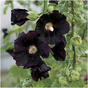 black hollyhock