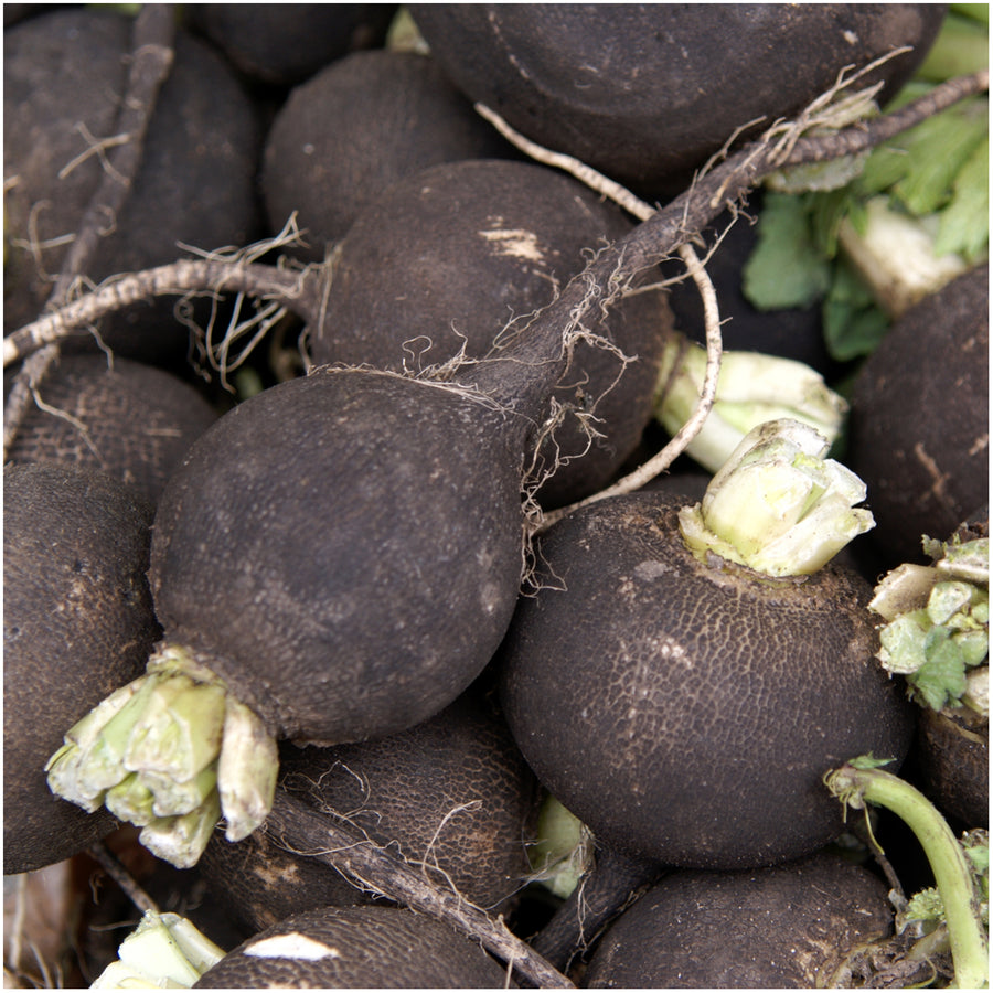 Black Spanish Radish Seeds (Raphanus sativus)