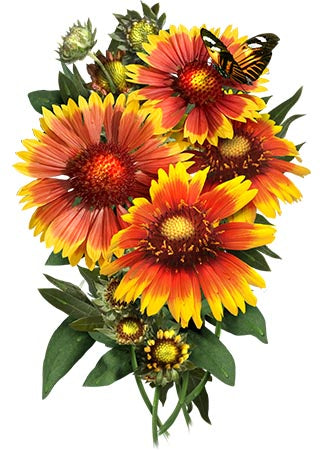 Blanket Flower Seeds (Gaillardia aristata)