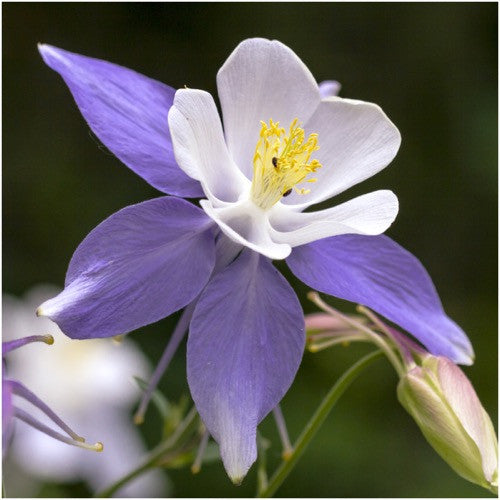 Blue Star Columbine