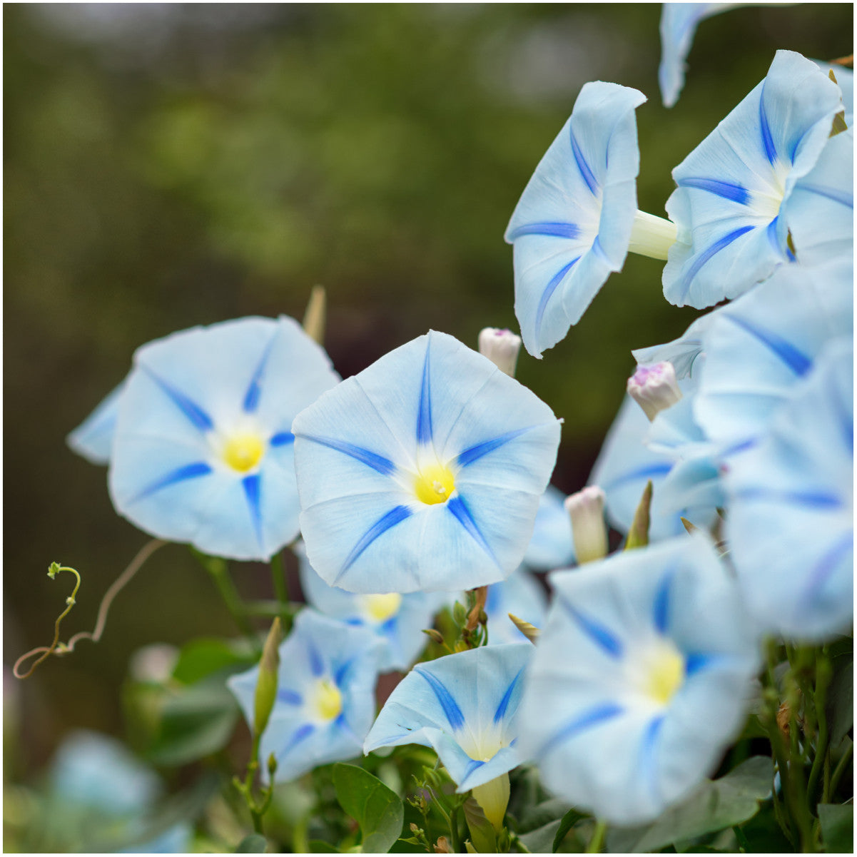 Blue Star Morning Glory Seeds Ipomoea Tricolor