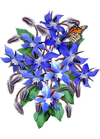 Blue Borage Seeds (Borago officinalis)