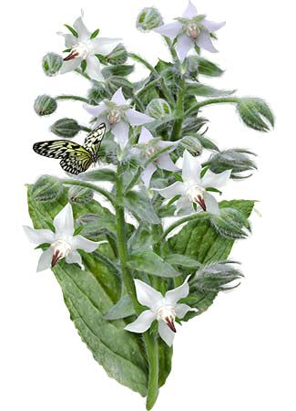 white borage seeds