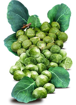 Brussels Sprout Seeds, Long Island Improved (Brassica oleracea)