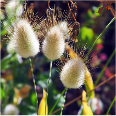 Bunny Tails Ornamental Grass Bunny tails ornamental grass seeds lagurus ovatus seed needs bunny tails ornamental grass seeds lagurus ovatus workwithnaturefo