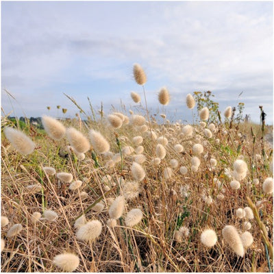 Bunny tails ornamental grass seeds lagurus ovatus seed needs bunny tails ornamental grass seeds lagurus ovatus workwithnaturefo