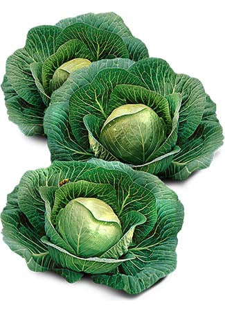 Early Round Dutch Cabbage Seeds (Brassica oleracea)
