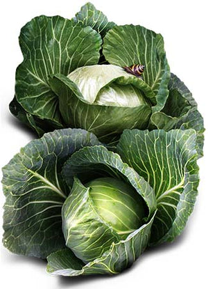 Golden Acre Cabbage Seeds (Brassica oleracea)
