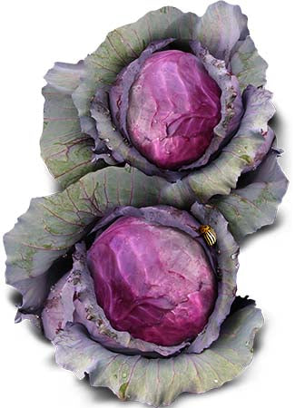 Red Acre Cabbage Seeds (Brassica oleracea)