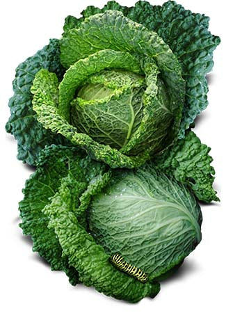 Savoy Perfection Cabbage Seeds (Brassica oleracea)