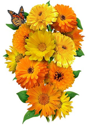 Calendula, Pacific Beauty Mixture (Calendula officinalis)